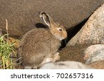 Stock photo young mountain hare lepus timidus hiding among large stones in the rays of the autumn sun wild 702657316