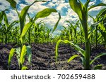 Young Green Corn Plants On...