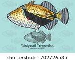 Wedgetail Triggerfish  Reef...