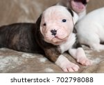 funny american bulldog puppies... | Shutterstock . vector #702798088