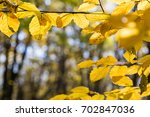 bright yellow leaves in october ...   Shutterstock . vector #702847036