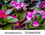 African Violet Or Saintpaulia...