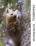 Small photo of American Pine Marten Martes americana in spruce tree near Watson Lake, Yukon, Canada