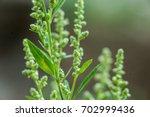Ragweed Bushes. Ambrosia...