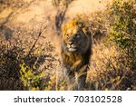 lion closeup in the... | Shutterstock . vector #703102528