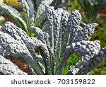 Kale In The Garden. Kale Green...