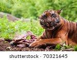 Sumatran Tiger Eating Its Prey...