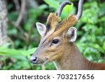 Indian Muntjac Or Barking Deer...