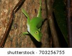 Adult Neotropical Green Anole ...