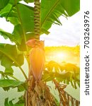 banana flowers hanging on... | Shutterstock . vector #703263976