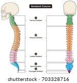 vertebral column of human body... | Shutterstock .eps vector #703328716