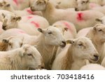 flock of welsh mountain sheep... | Shutterstock . vector #703418416