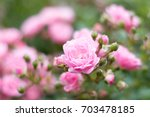 Stock photo beautiful pink rose isolated with natural background perfect image for blooming roses flowers 703478185