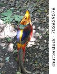 Small photo of Colorful Chinese Pheasant, also called Golden Pheasant, scientific name Chrysolophus pictus (3)