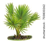 young betel palm on isolate...   Shutterstock . vector #703833262