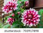 Bicolor White Purple Dahlia In...