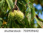 Conkers Ripening In Their...