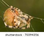 araneus quadratus teuton meadow | Shutterstock . vector #70394356