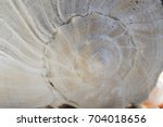 Conch Shell Spiral Close Up
