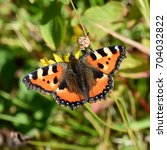Small photo of The Small Tortoiseshell butterfly Aglais urticae on a flower