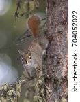 Small photo of American Red Squirrel Tamiasciurus hudsonicus in white spruce Picea glauca at Marsh Lake, near Whitehorse, Yukon, Canada