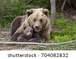 brown bear with cubs in forest   Shutterstock . vector #704082832
