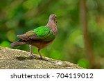 common emerald dove  | Shutterstock . vector #704119012
