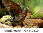 common emerald dove  | Shutterstock . vector #704119162