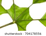 Small photo of Trevesia palmate Leaf Close up