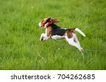 Stock photo happy beagle puppy run and jumping on green field cute dog with flying ears in jump 704262685