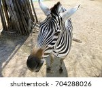 zebra portrait  zebra close up | Shutterstock . vector #704288026
