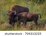 bison calf nuzzles against... | Shutterstock . vector #704313235