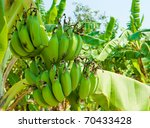 Banana Bunch On Tree In The...