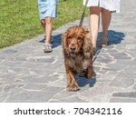 the dog going with owner in... | Shutterstock . vector #704342116