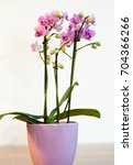 pink orchid in a pot   Shutterstock . vector #704366266