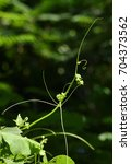 Small photo of Vines: Dodder (Cuscuta sp. L.) Twinning and stem climbing in the backyard, And Dancing
