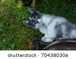little cat playing in the...   Shutterstock . vector #704380306