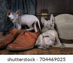 thoroughbred don sphinx kitties ... | Shutterstock . vector #704469025