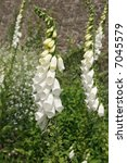 White Rare And Deadly Foxglove...