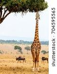 giraffe in masai mara safari... | Shutterstock . vector #704595565