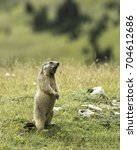 Small photo of Alpine marmot standing right up and whistling - alpenmarmot - marmota marmota