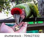 macaw in an aviary  feeding... | Shutterstock . vector #704627332