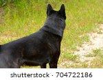 kai ken looking down mountain... | Shutterstock . vector #704722186
