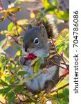 Small photo of American Red Squirrel Tamiasciurus hudsonicus eating rose hip in Teslin, Yukon, Canada