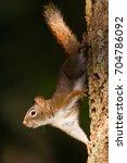 Small photo of American Red Squirrel Tamiasciurus hudsonicus upside down on a tree trunk in Comox, Vancouver Island, British Columbia, Canada