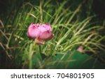 lotus flower single solitary... | Shutterstock . vector #704801905