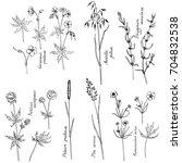 vector ink drawn wild herbs ... | Shutterstock .eps vector #704832538