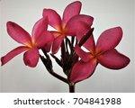 beautiful red flower   Shutterstock . vector #704841988