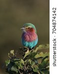 lilac breasted roller sitting... | Shutterstock . vector #704874142
