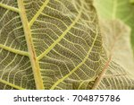 green leaf background close up... | Shutterstock . vector #704875786